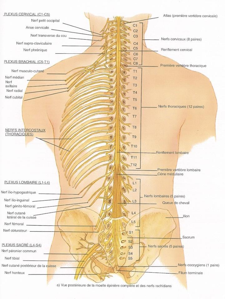 Vue postérieure de la moelle épinière complète et des nerfs rachidiens