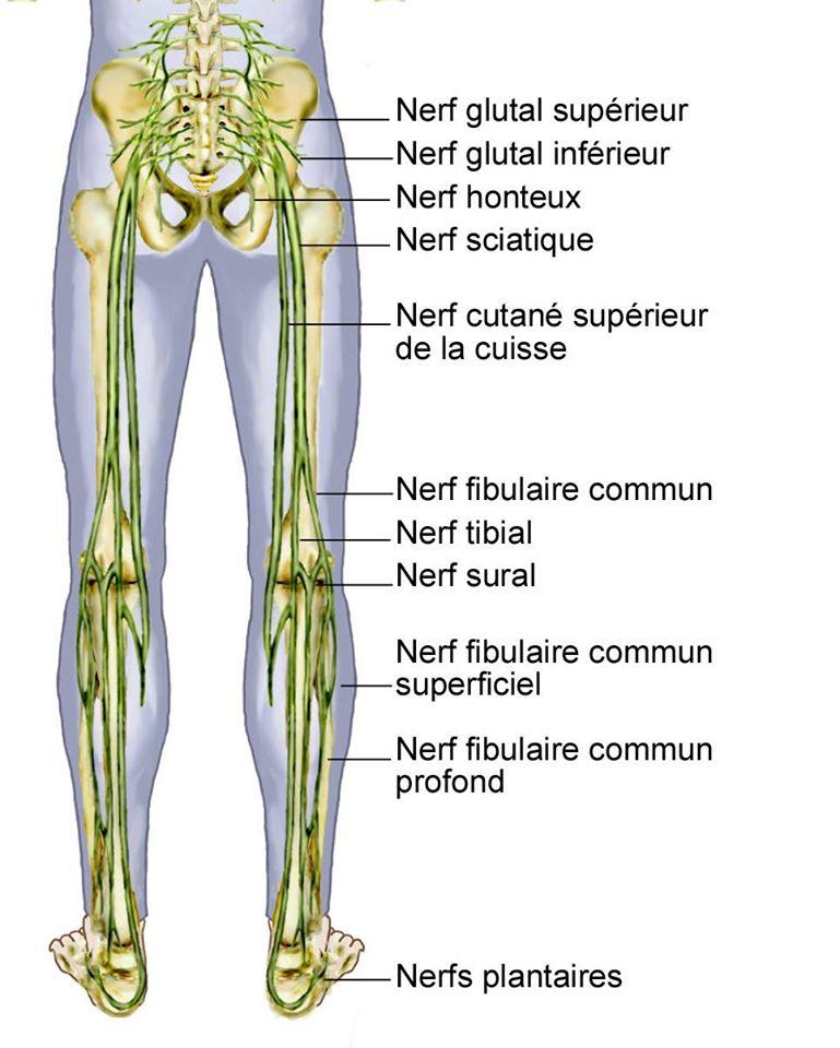 Nerf & Sacrum