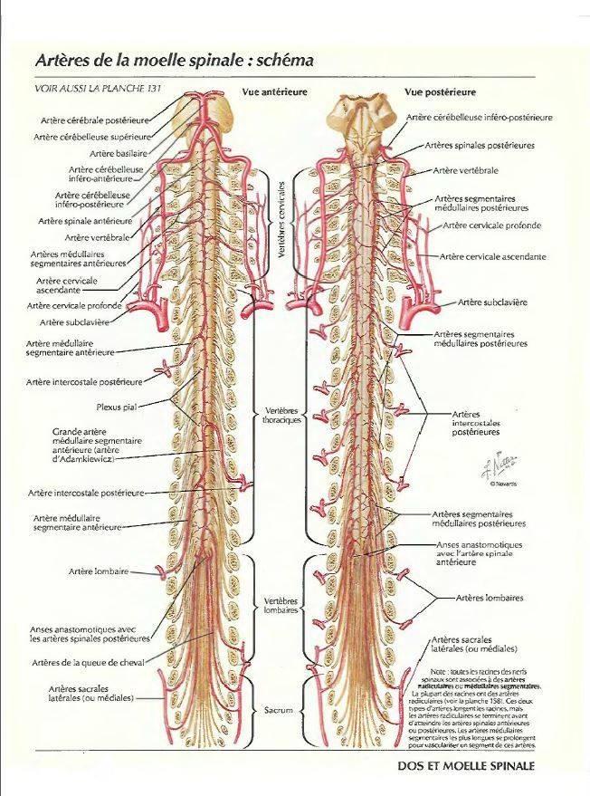 Artères de la moelle épinière