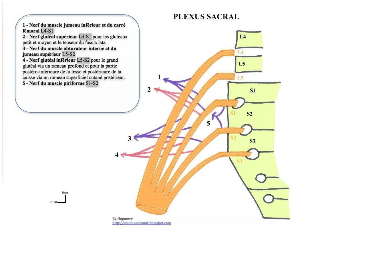 Plexus sacral