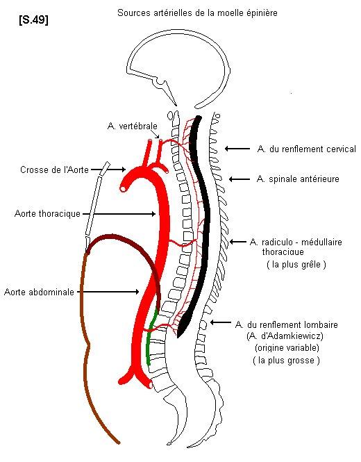 Sources artérielles de la moelle épinière