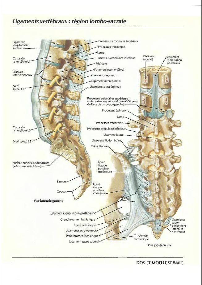 Ligaments vertébraux : région lombo-sacrale