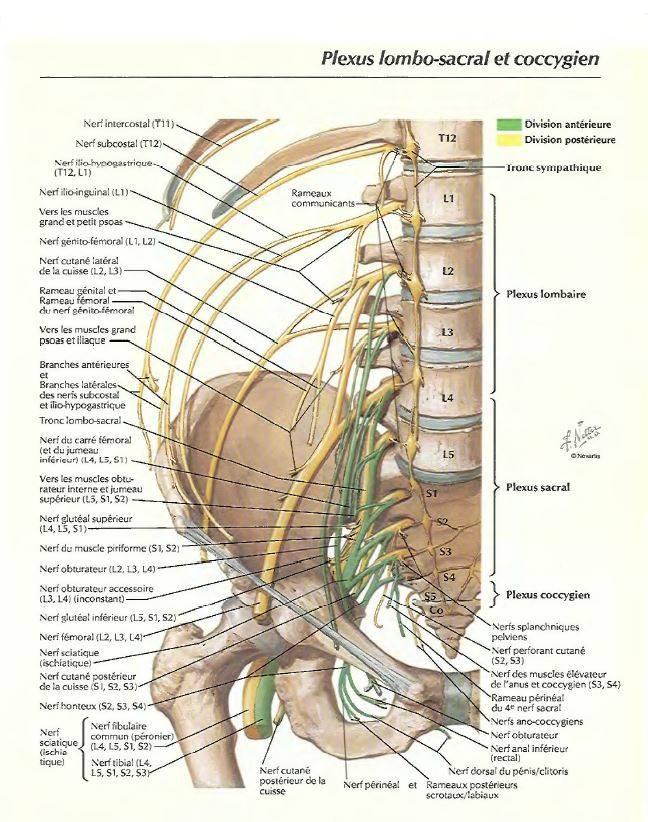Plexus lombo-sacral et coccygien