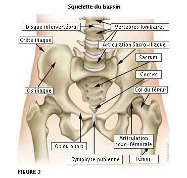 Squelette du bassin