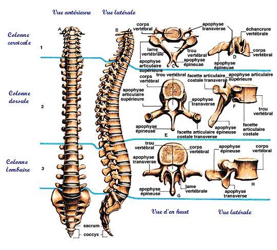 Vues colonne vertébrale