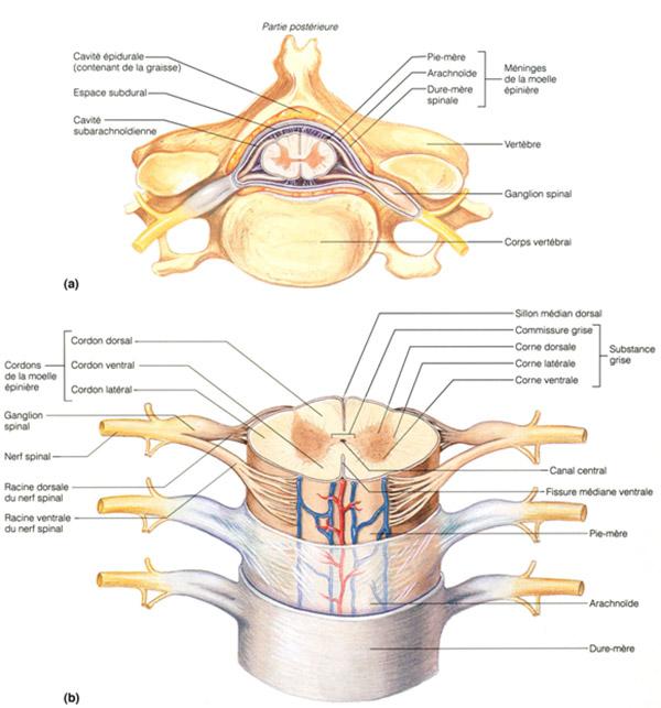 coupe-transversale-de-moelle-epiniere