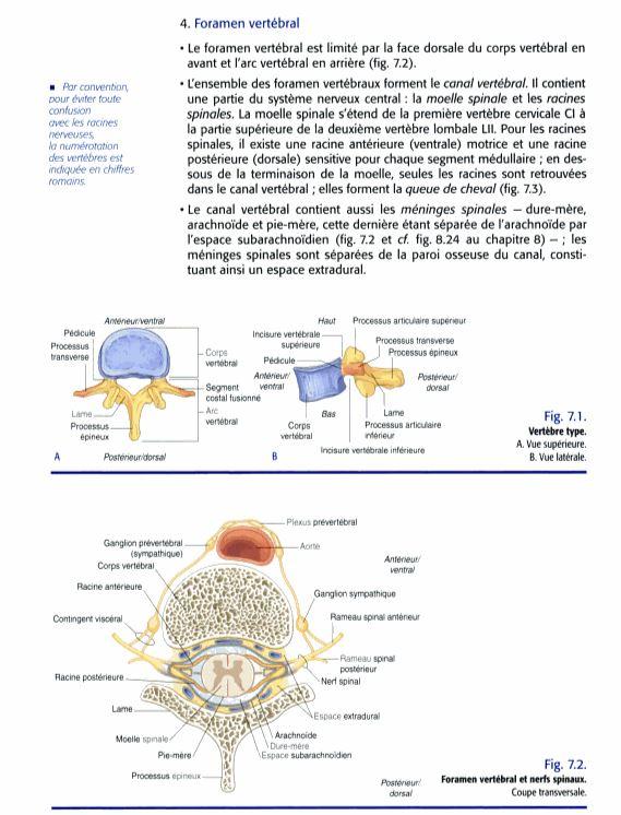 Foramen vertébral et nerfs spinaux