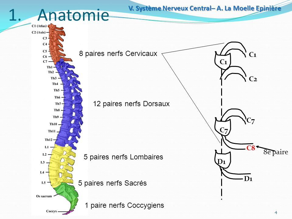 Système Nerveux central