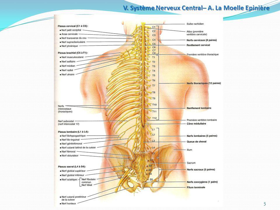 Système+Nerveux+Central–+A.+La+Moelle+Epinière.jpgc