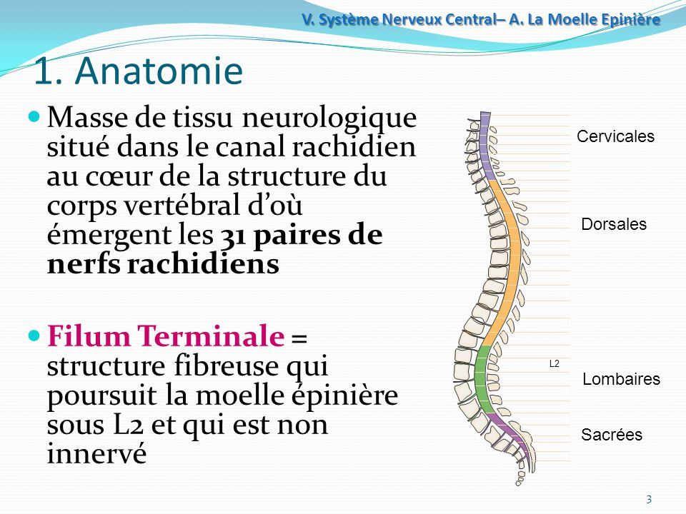 Système+Nerveux+Central–+A.+La+Moelle+Epinière