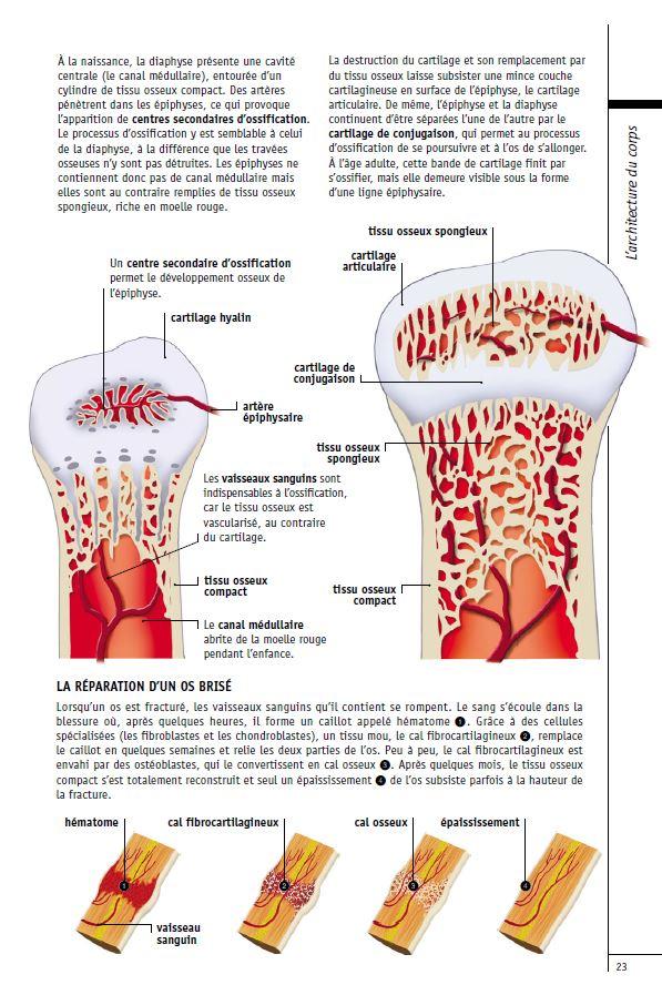 La croissance des os a