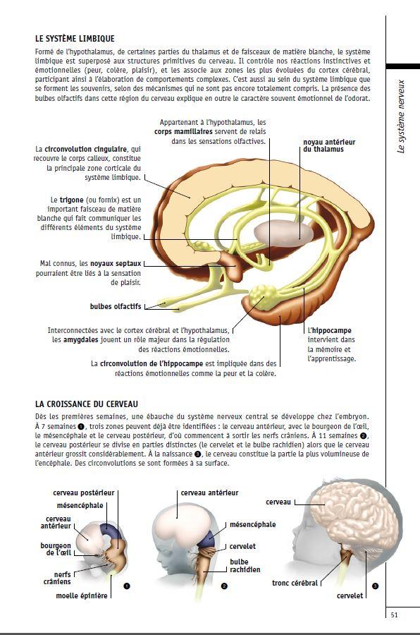 Le cerveau a