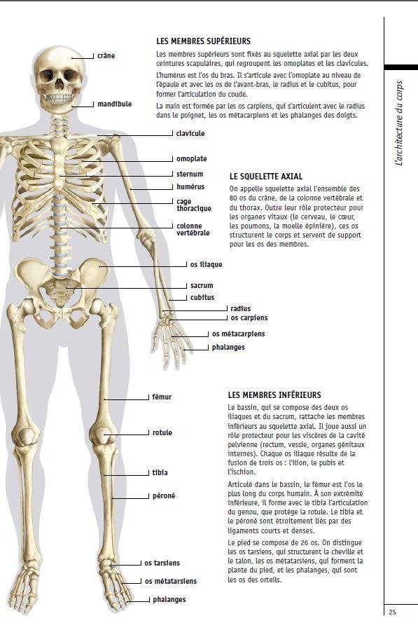 Le squelette humain a