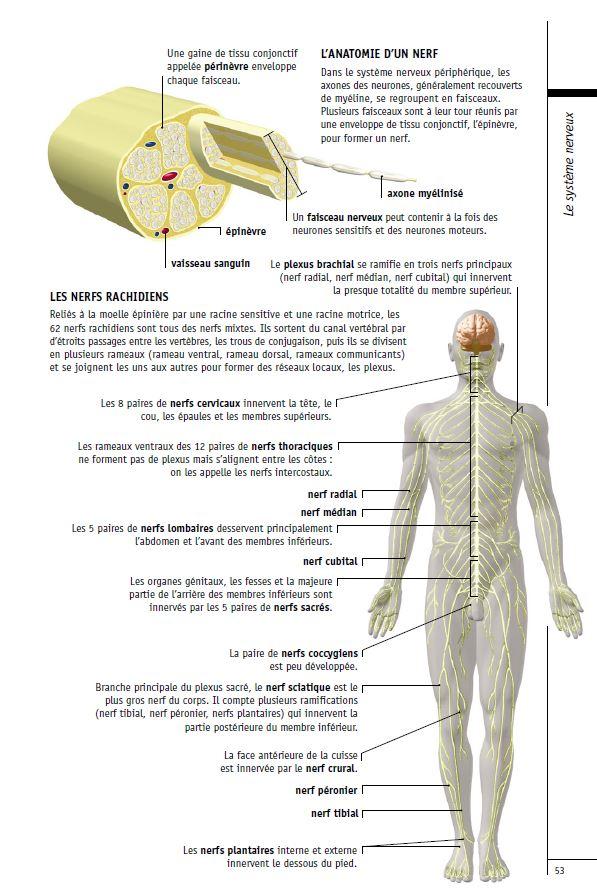 Le systeme nerveux periferique a