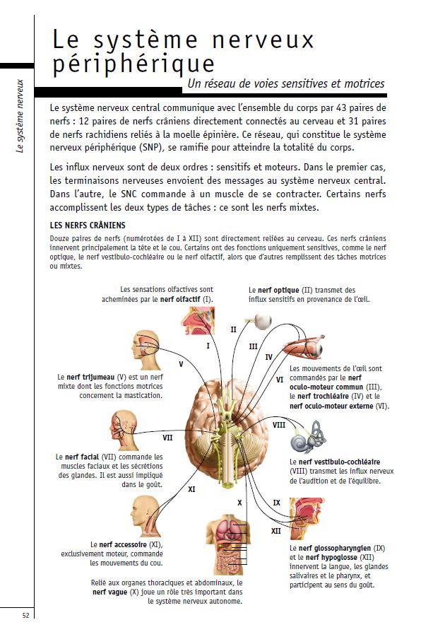 Le systeme nerveux periferique