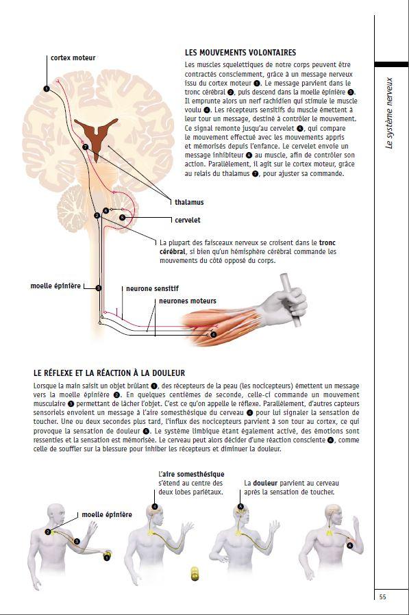 Les fonctions motrices du systeme nerveux a