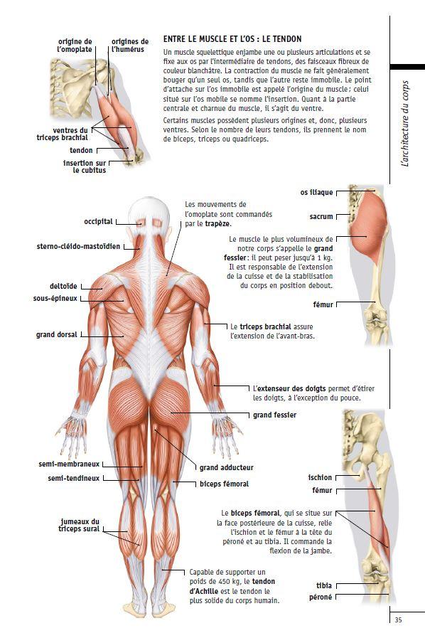 Les muscles squelettiques a