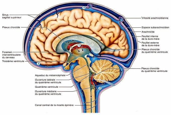 Liquide cerebrospinal
