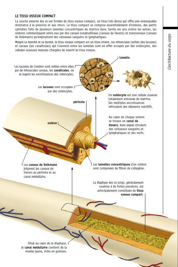 Structure des os a