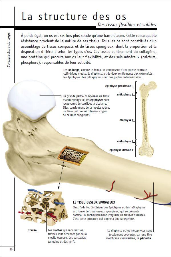 Structure des os